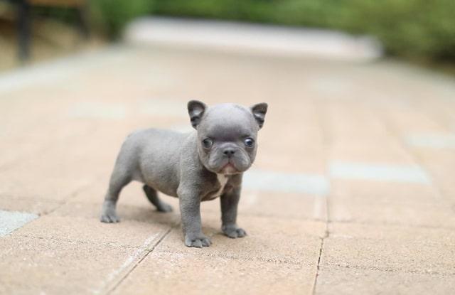 cac van de suc khoe cho bulldog phap mini