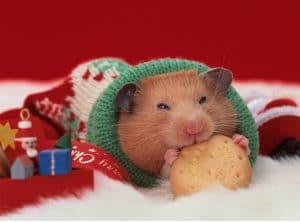 cach giu am cho chuot hamster khoi bi lanh