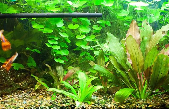 Cây Lưỡi Kiếm Amazon