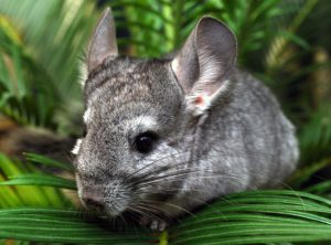 cham soc chinchilla