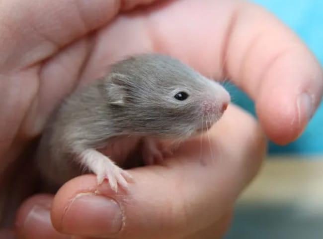 cham soc chuot hamster sau sinh