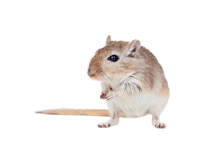 chăm sóc chuột nhảy
