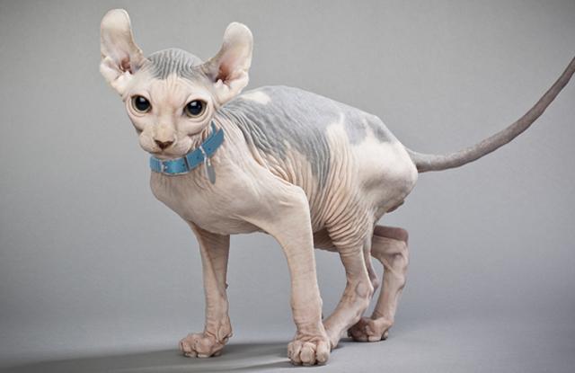 Chăm sóc mèo không lông