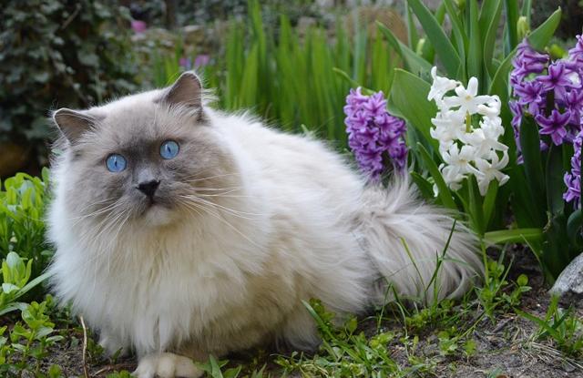 cham soc meo ragdoll blue