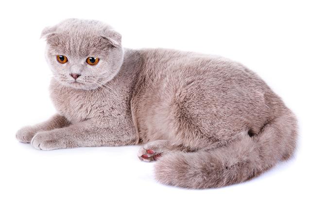 Chăm sóc mèo Mèo tai cụp