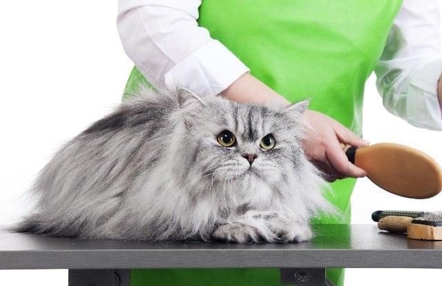 Chăm Sóc Và Chải Lông Cho Mèo Lông Dài