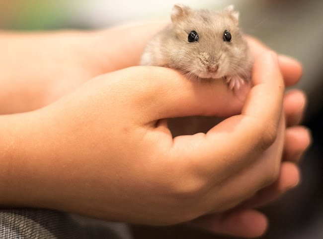 chi phi nuoi chuot hamster