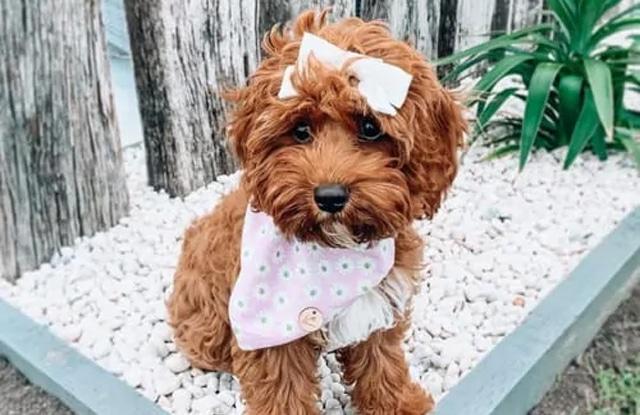 Chó Cavoodle
