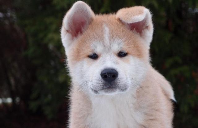 Chó Hokkaido Inu