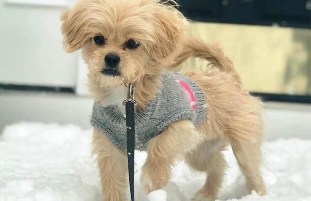 Chó Peekapoo