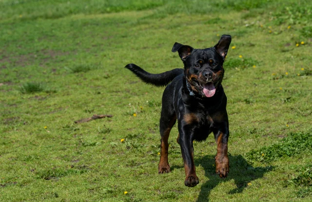 cho Rottweiler hinh anh