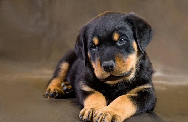 cho Rottweiler van de suc khoe
