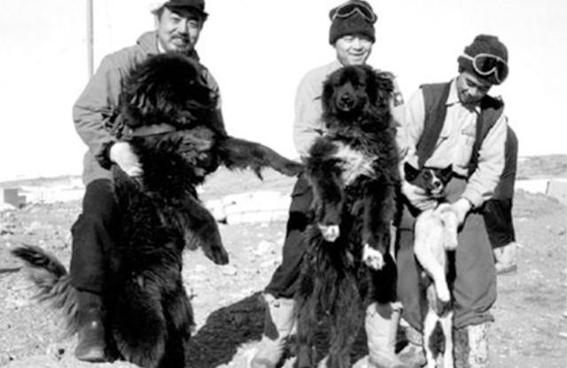 Chó Sakhalin Husky