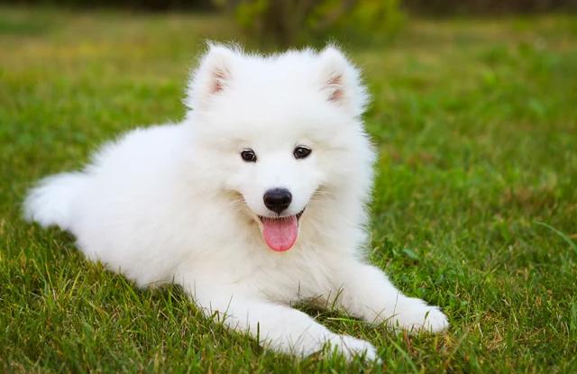 Chó Samoyed
