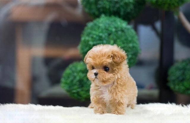 Chó Teacup Maltipoo