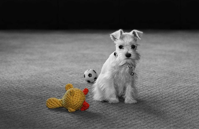 Chó Teacup Schnauzer