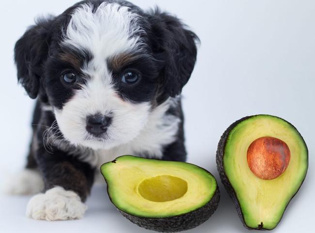 Chó Ăn Bơ