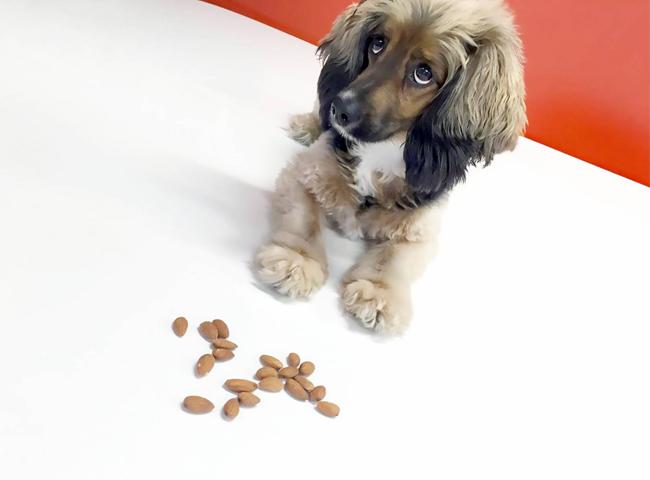 Chó Ăn Hạnh Nhân