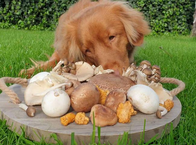 Chó Ăn Nấm