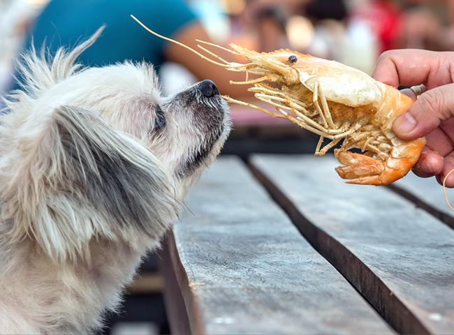 Chó Ăn Tôm