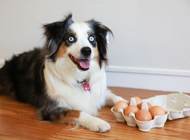 Chó Ăn Trứng Được Không