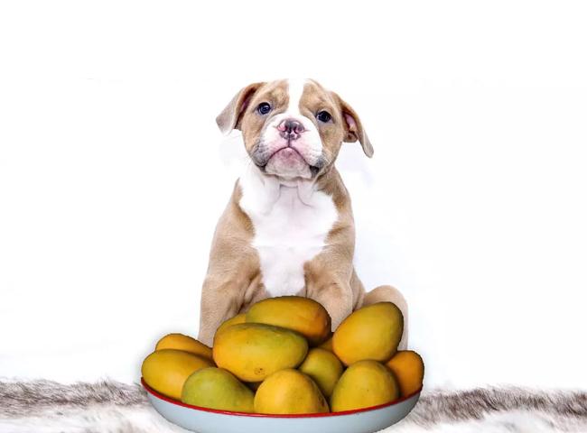 Chó Ăn Xoài