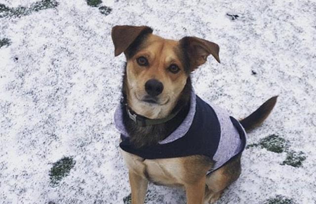 cho beagle lai Shepherd