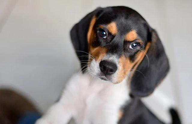 cho beagles cach cham soc