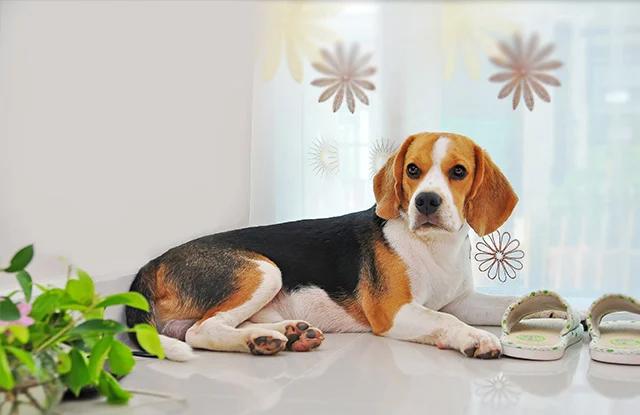 cho beagles lich su