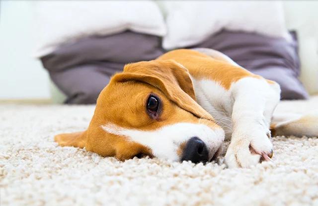 cho beagles tinh cach