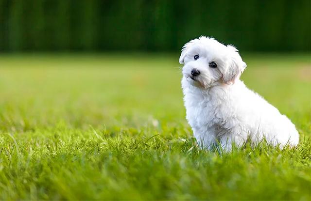 Chó Bichon