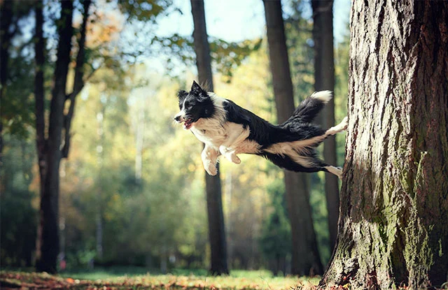 cho border collie hinh anh 2