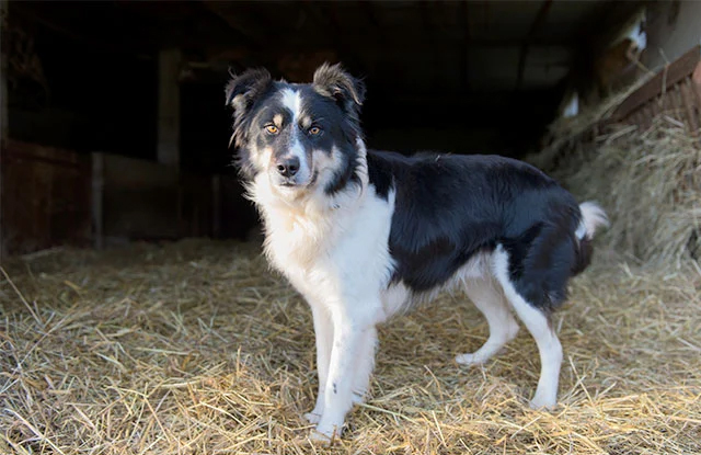 cho border collie hinh anh 3