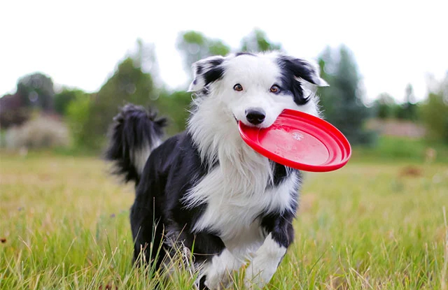 cho border collie hinh anh 4