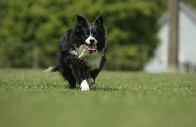 Chó Border Collie Mini