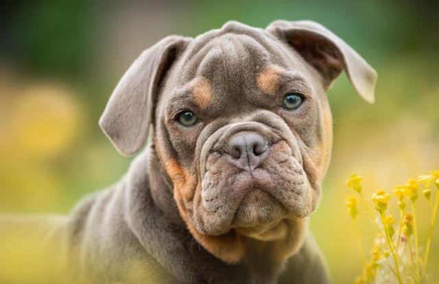 Chó Bull