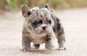 cho bulldog phap mini