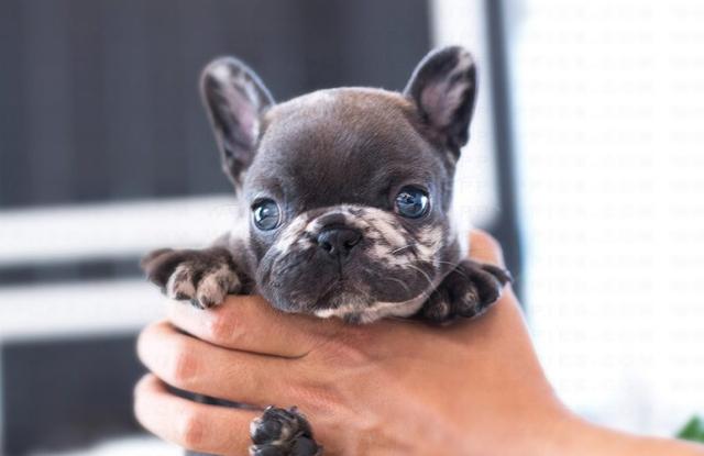 Chó bulldog Pháp Teacup