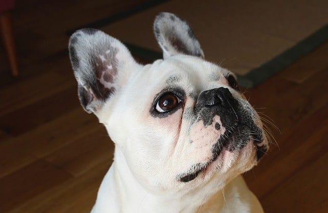 Chó Bulldog Pháp Có Thông Minh Không?