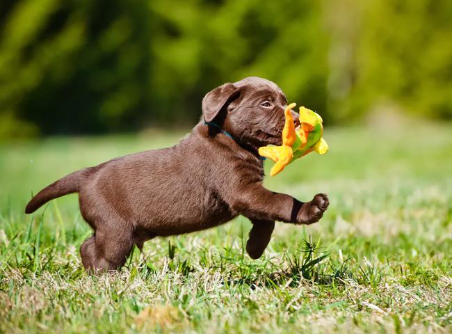 cho canh dep Labrador