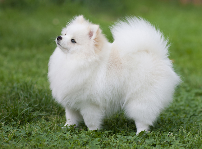cho canh dep Pomeranian