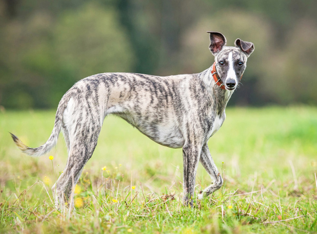 cho canh dep Whippet