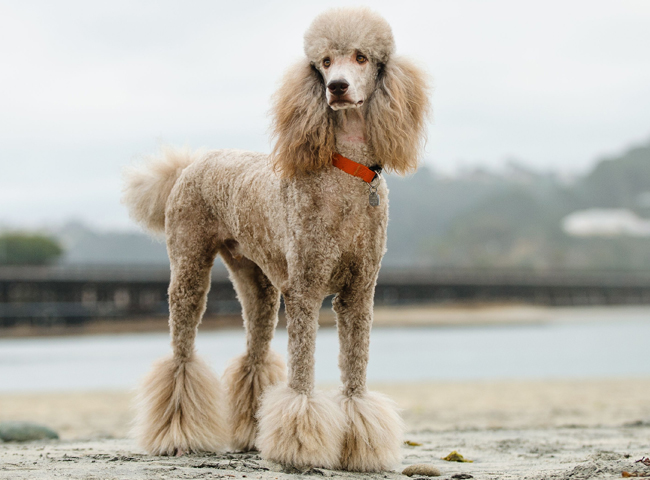 cho canh dep poodle