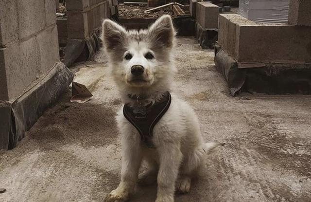 cho chan cuu duc lai Alaskan Shepherd