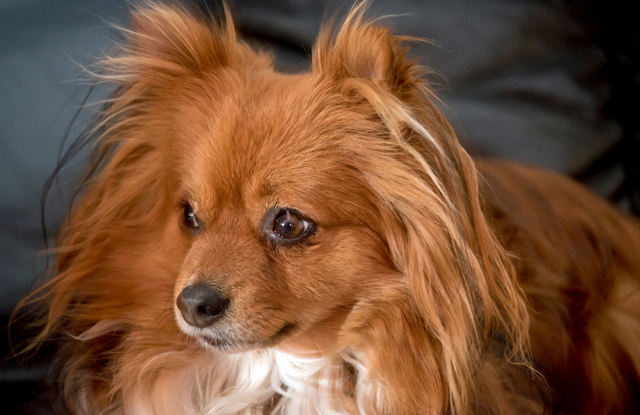 Chó Chihuahua Lông Dài