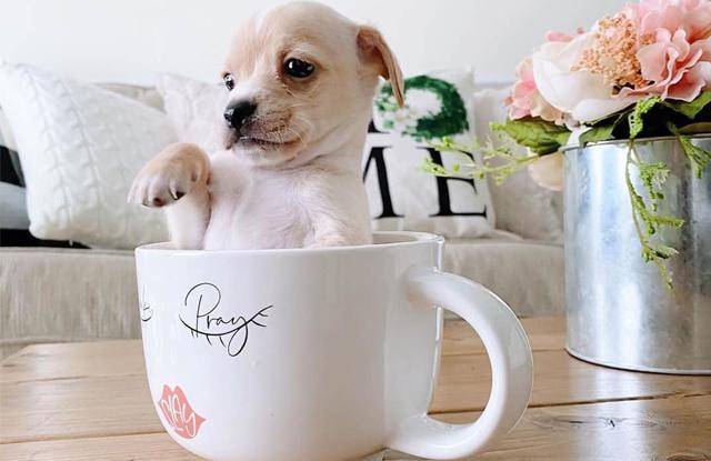 Chó Chihuahua Teacup