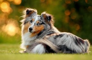 cho collie mini
