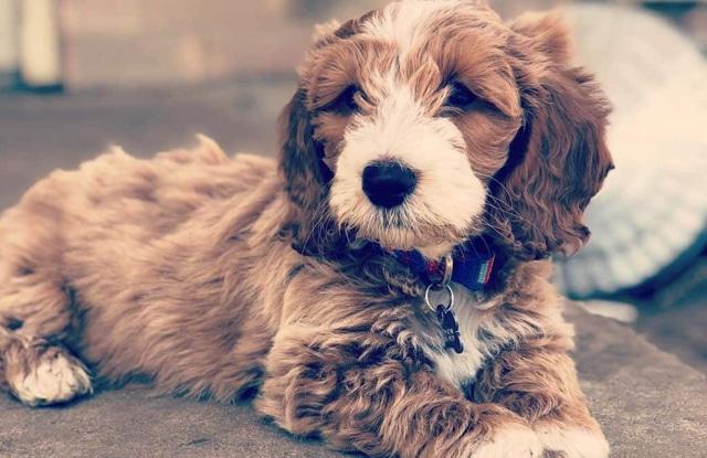Chó Doxiepoo