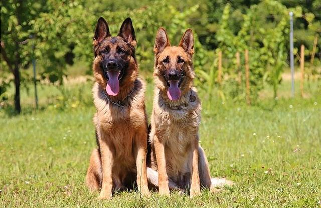 Chó Đức