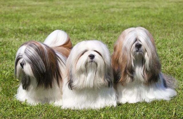 Chó Lông Dài